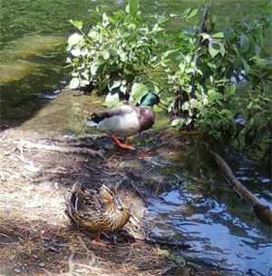 pair of ducks