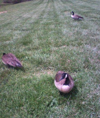 A couple of the geese we fed