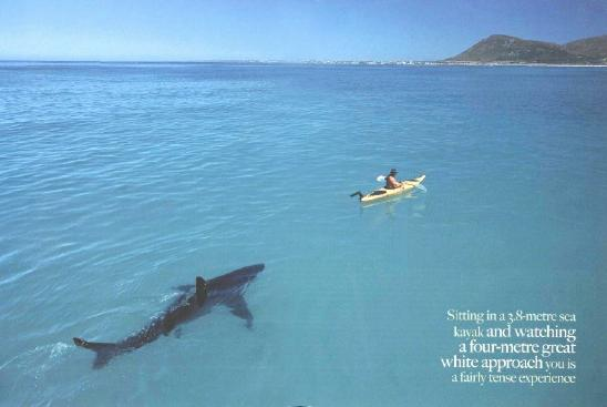 Shark swimming after kayak